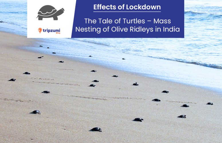Effects of Lockdown The Tale of Turtles – Mass Nesting of Olive Ridleys in India