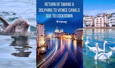 Return of Swans & Dolphins To Venice Canals due to Lockdown